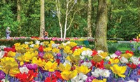 Holland & its Tulips